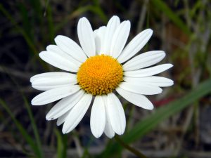 Essential Oil Care - Chamomile Oil Skin Care 2