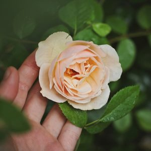 Essential Oils Care - Rose Oil Ingestion