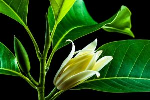 Essential Oils Care - Ylang-Ylang Oil Hair Care