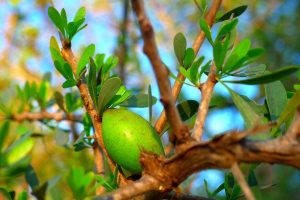 Unripe argan fruit on an argan tree branch