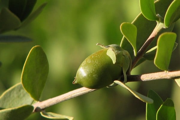 Jojoba fruit on a branch